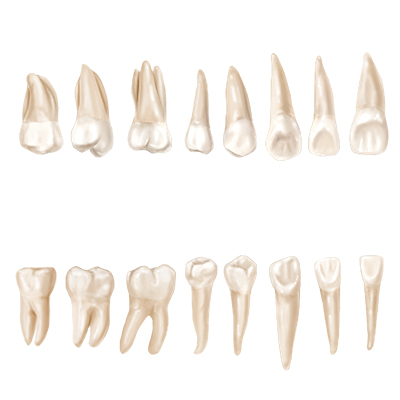 Lingual View (Adult Teeth)