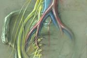 Sacral Nerve Plexus illustration
