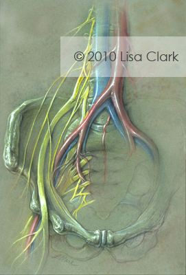 Sacral Nerve Plexus illustration