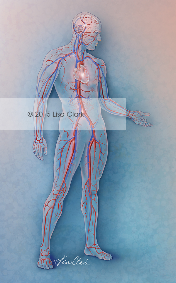 Cardiovascular System Illustration