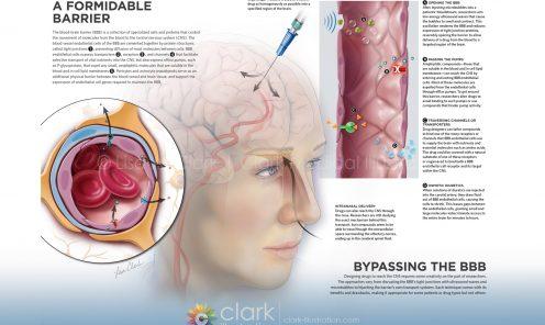Blood Brain Barrier Illustration | © 2017 Lisa A. Clark