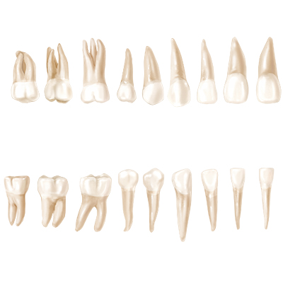 Buccal View (Adult Teeth)