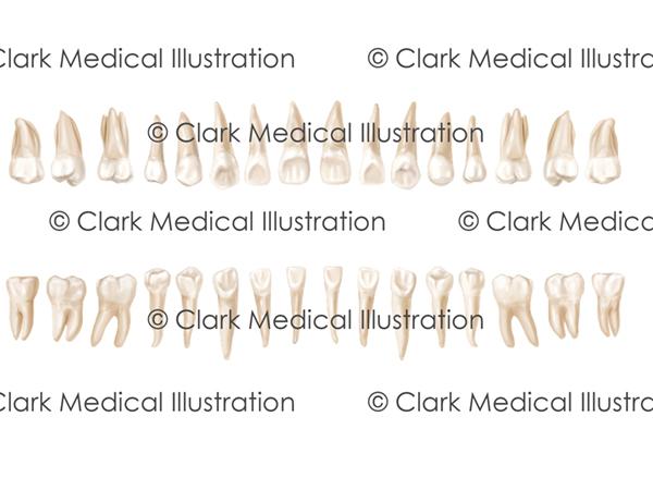 Lingual View (Adult Teeth)