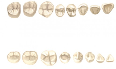 Occlusal View (Adult Teeth)