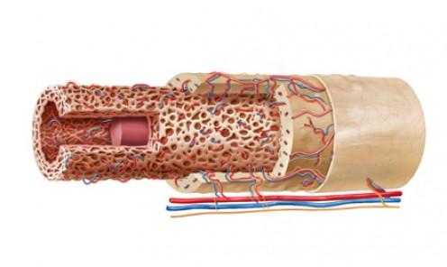 Long Bone Anatomy