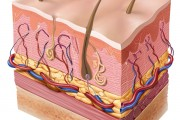 Skin Cross Section Illustration