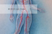 Cardiovascular System Illustration | ©2015 Lisa A. Clark