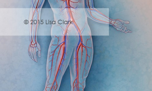 Cardiovascular System Illustration | ©2015 Lisa A. Clark